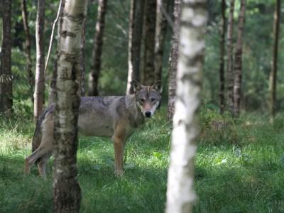 Der Wolf im Bundesrat