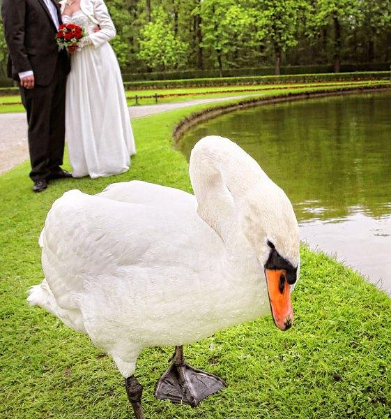 Brautpaarshooting mit Schwan