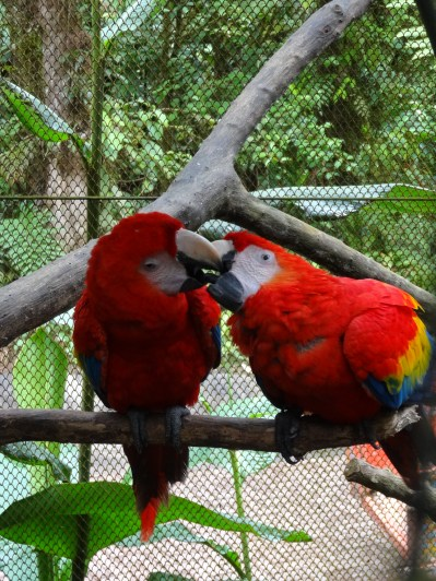 Certains perroquets ressemblent vraiment à ceux qui ont peuplé notre imaginaire d'enfant. / Some parrots look like those which populated our child's imagination