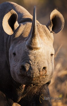 A Black Rhino from Kruger National Park. They are very rare, so im pretty to see it.