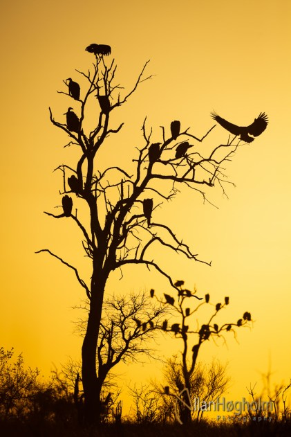 Sunset Vulture