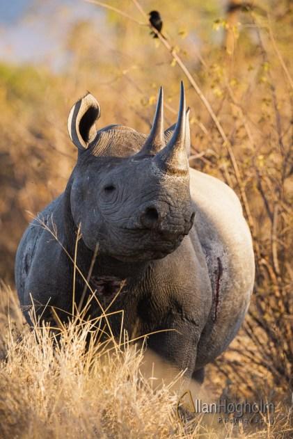 Black Rhino i Kruger
