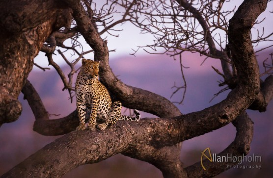 Leopard in sunset