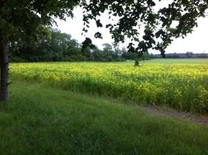 mosterd veld