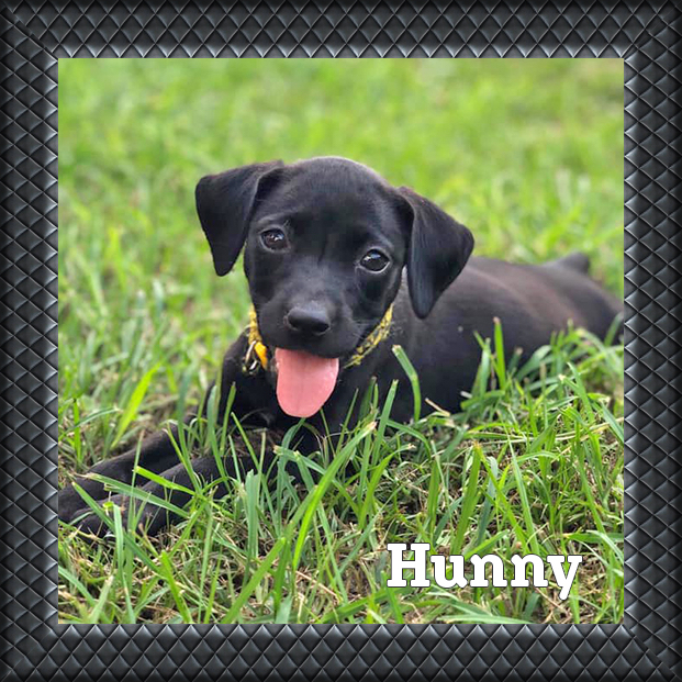 adoptable black puppy lab