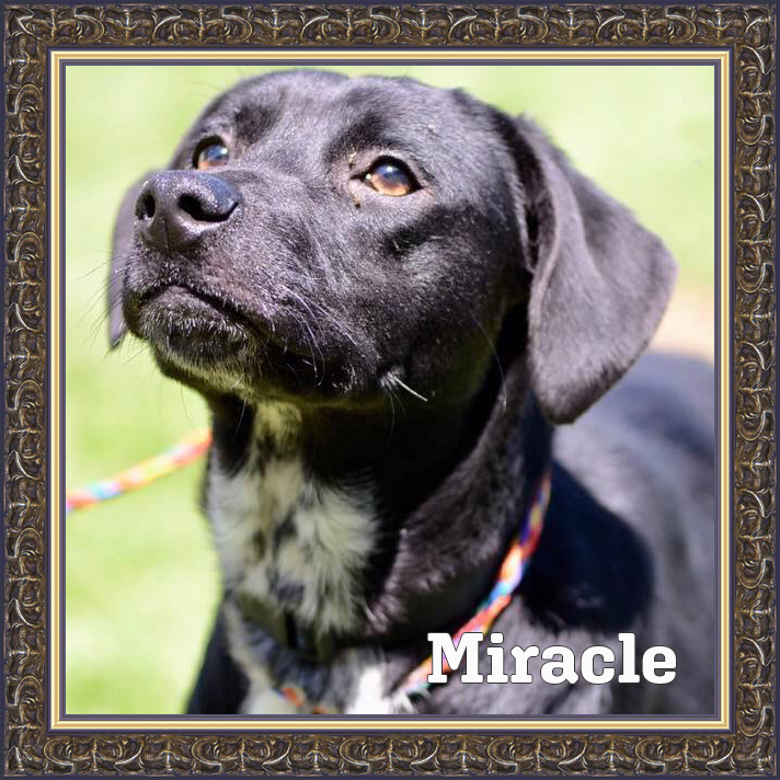 Adoptable lab mix
