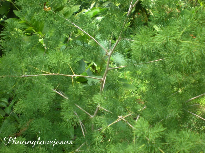 Asparagus cochinchinensis, Chinese Asparagus, Chinese Tuber Asparagus...Thiên Môn Đông, Thiên Môn, Tóc Tiên ...#5