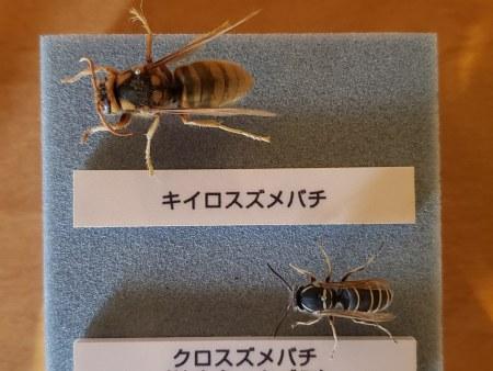 キイロスズメバチ、クロスズメバチ