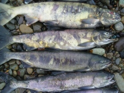 婚姻色の鮭