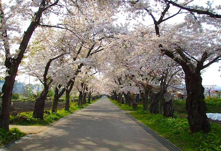 「陣屋桜」として有名な桜並木。GW頃には『北斗陣屋桜まつり』も開催