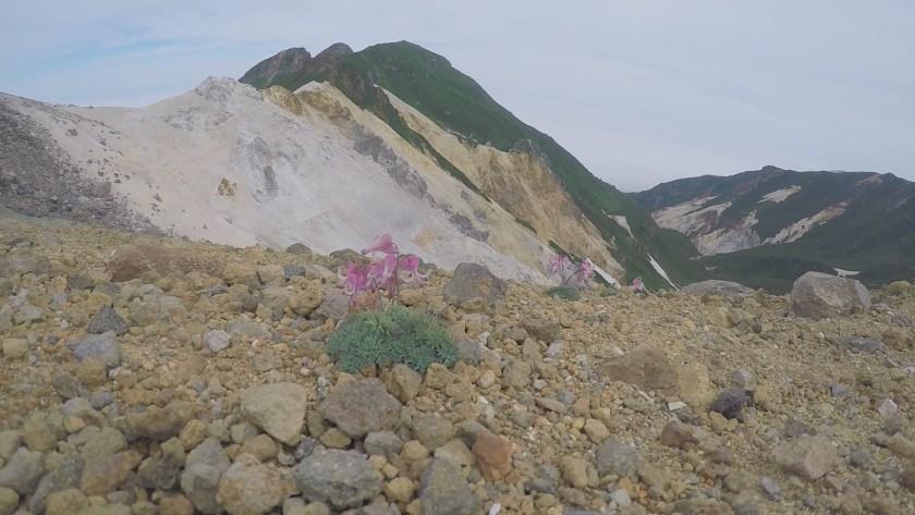 硫黄山とコマクサ