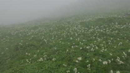富良野岳・ハクサンイチゲの大群落