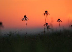 Coneflowers against sunset