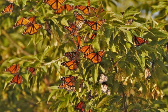 Roosting monarch butterfly