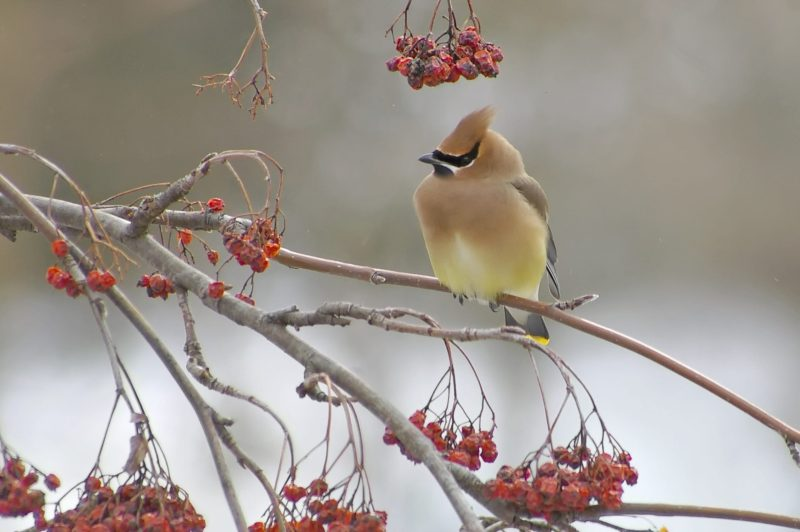 Cedar waxwing move to south in winter