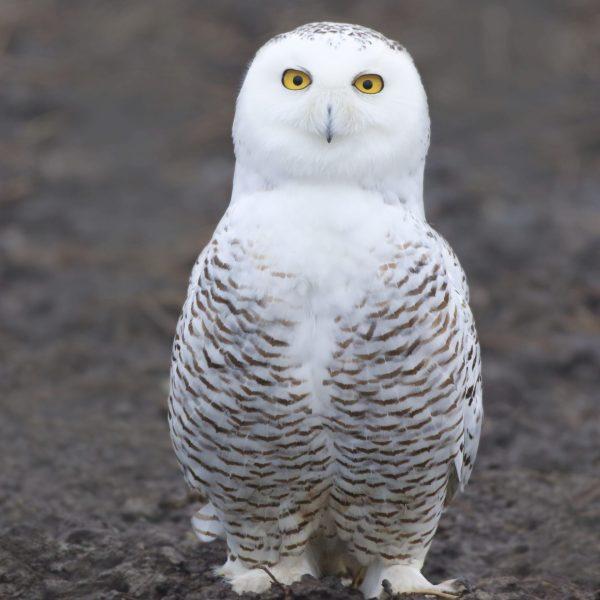 Female of snowy owl