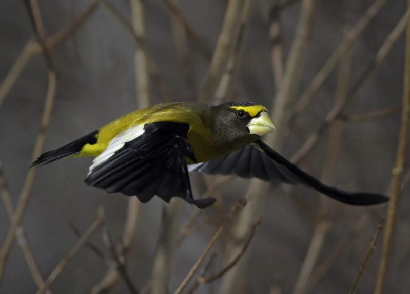 Grosbeak in flight