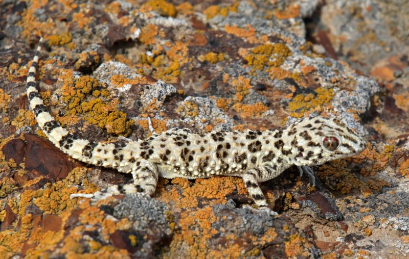 This Gecko is widely distributed, but prefers inhabiting the deserts with rocky or clay soils.