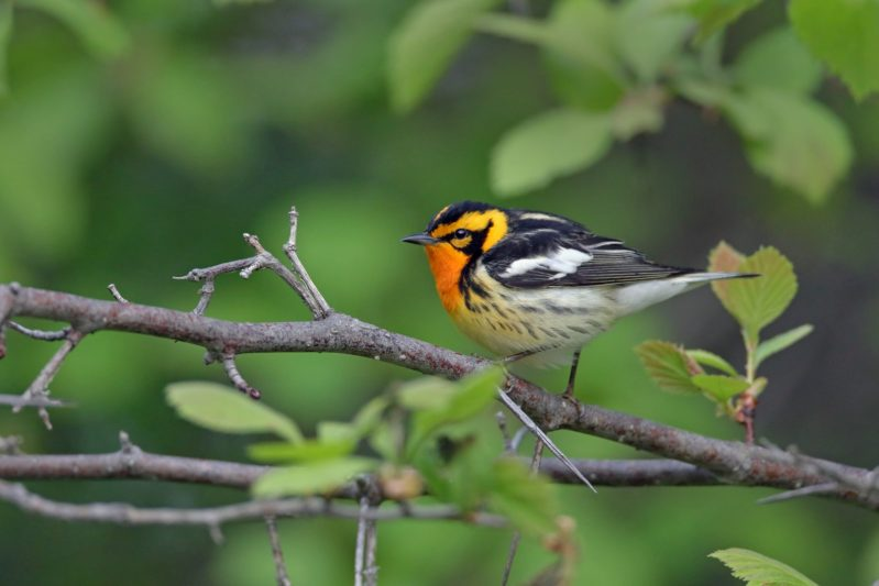 The male of Blackburnian Warbler