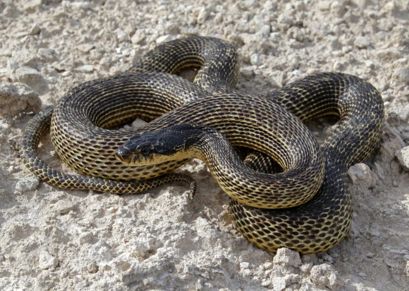 This is non-venomous snake