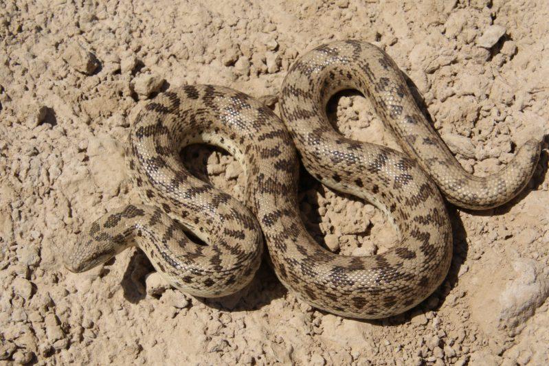 Sand boas are not venomous