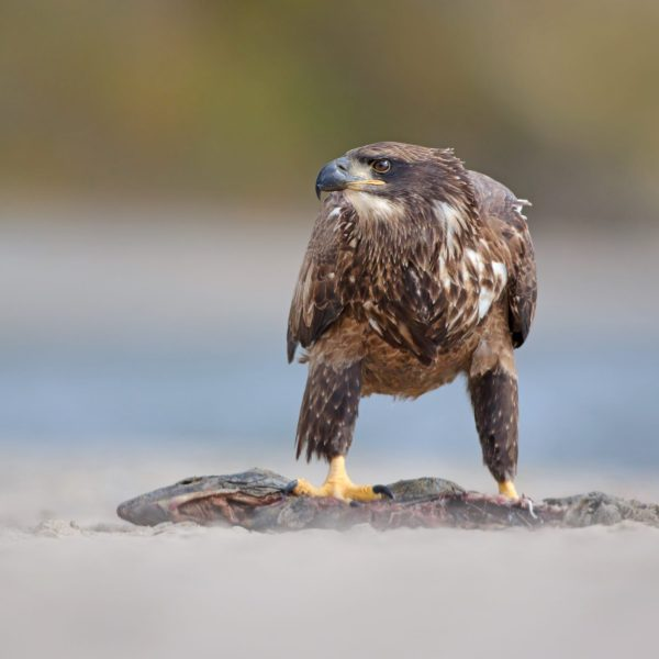 Juvenile bald eagle near the lake