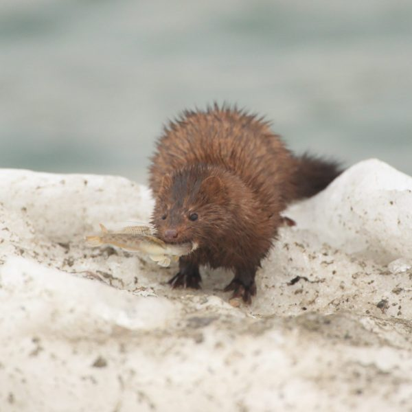 The American Mink with prey