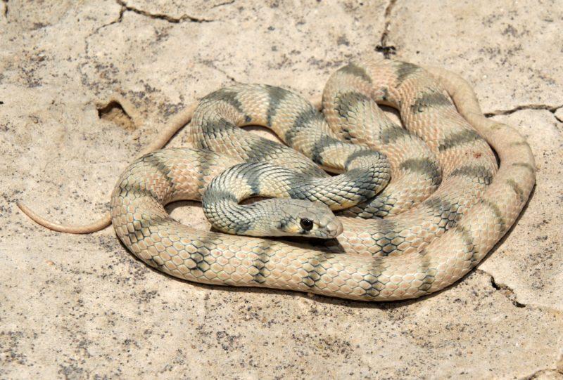 This is a small non-venomous snake