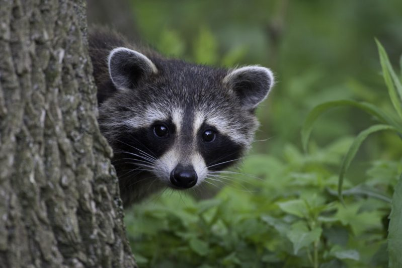 Raccoons are well adapted to live in human neighborhood