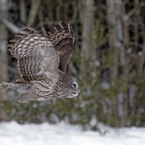 Great Gray Owl is a large bird with silent flight