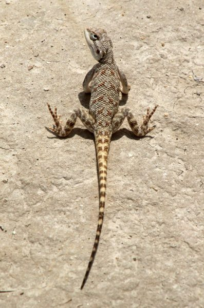 Steppe agama - female in a hot day