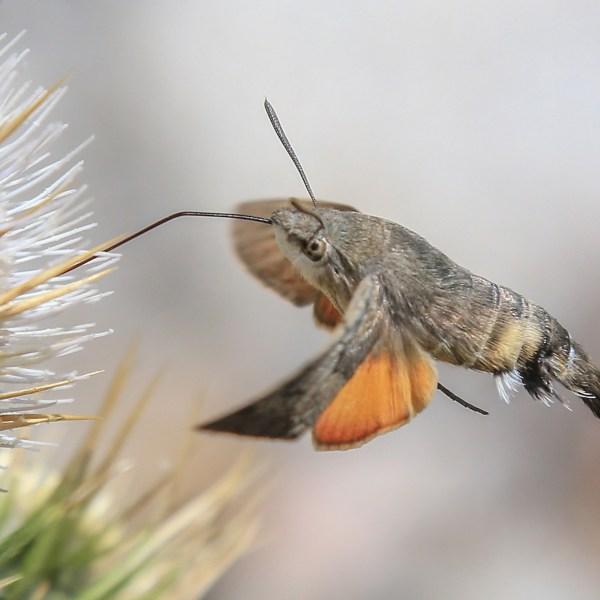Hummingbird Hawk-moth (Macroglossum stellatarfrum)