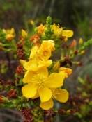 Blume_gelb.JPG
