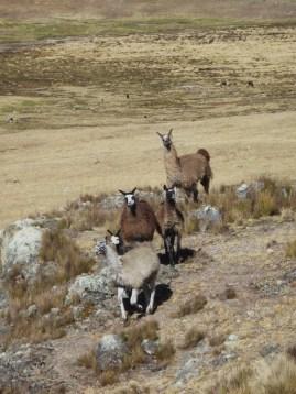 wundrig Lamas