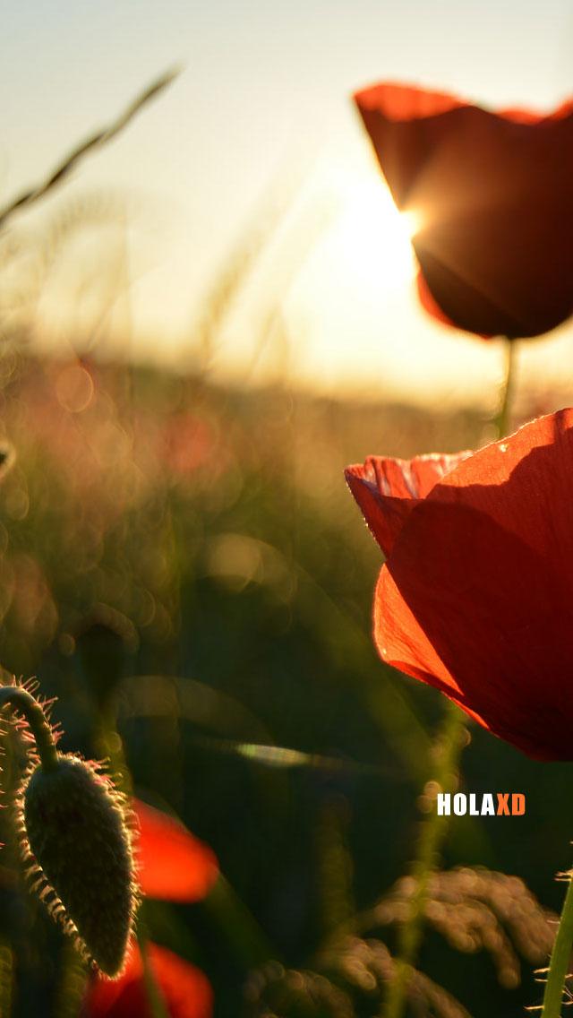 fondo-celular-flores-rojas