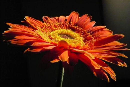 flores-gerberas-img046