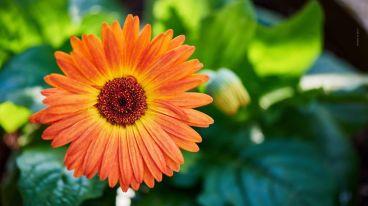 flores-gerberas-img143