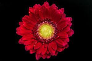 flores-gerberas-img313