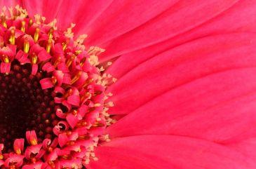 flores-gerberas-img387