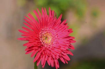 flores-gerberas-img402
