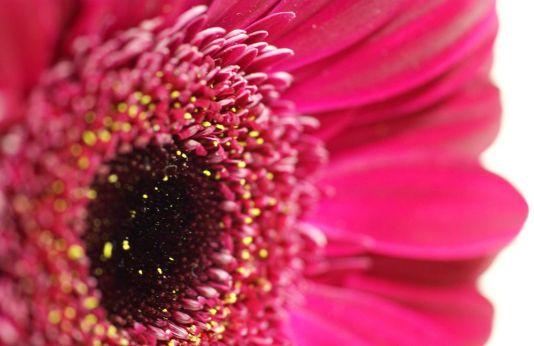 flores-gerberas-img587