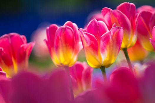 tulipanes-flores-imagen024