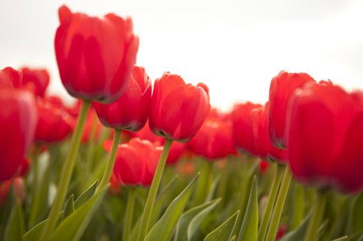 tulipanes-flores-imagen030