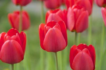 tulipanes-flores-imagen070
