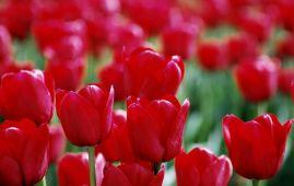 tulipanes-flores-imagen205
