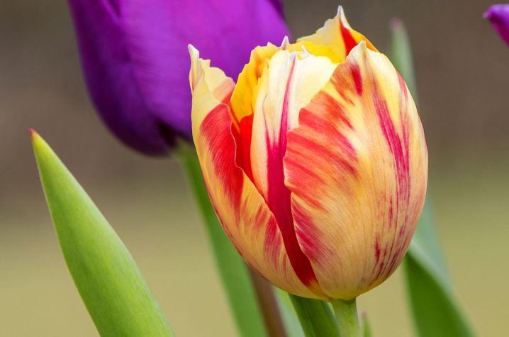 tulipanes-flores-imagen206