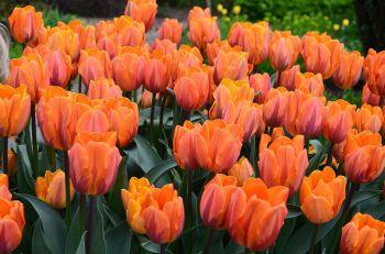 tulipanes-flores-imagen473