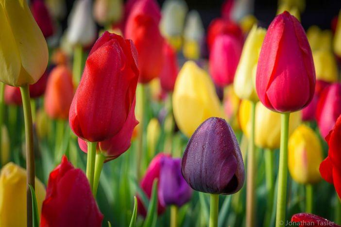 tulipanes-flores-imagen871
