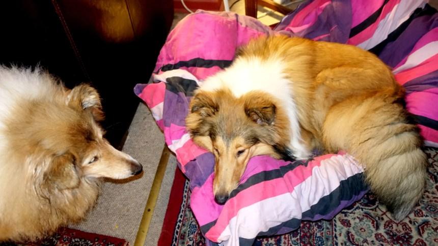 Deres udsendte orø-mearbejders to hunde: til venstre DUT, til højre hvalpen Amanda, dog ikke fra Kerteminde, men fra Orø. Foto: Jesper von Staffeldt.