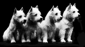 Poltalloch white terriers 1928
